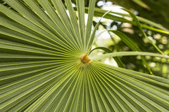 Palm leaf close-up. Picture of a palm leaf taken up close royalty free stock photography