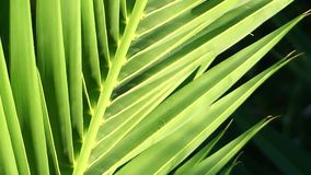 Palm leaf close up stock video