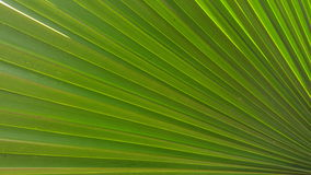 Palm Leaf. Close up view of a palm leaf frond Royalty Free Stock Images