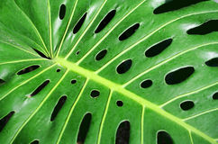Palm leaf closeup. Close up of a tropical plant leaf Royalty Free Stock Photo