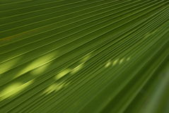 Palm leaf closeup Royalty Free Stock Photography