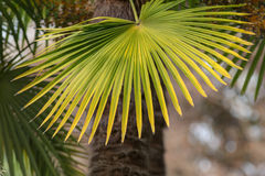 Palm leaf closeup Royalty Free Stock Images