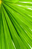 Palm leaf closeup Stock Photo