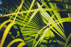 Palm leaf closeup, inside tropical garden  - plant background Royalty Free Stock Photo