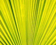Palm leaf texture Stock Photos