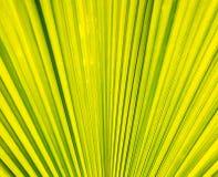 Palm leaf texture. Palm leaf closeup with symmetry Stock Photos