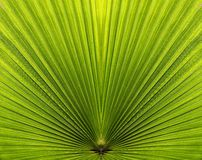 Palm leaf closeup with symmetry and lines Royalty Free Stock Image