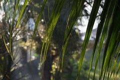 Palm leaf closeup in tropical garden. Fresh morning dew with sun light and greenery. Tropical island sunrise photo. royalty free stock photo