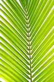 Palm leaf in detail Royalty Free Stock Photos