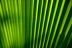 Palm leaf detail. Abstract closeup of a green pleated palm leaf. Detailed texture Stock Image