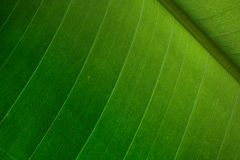 Palm leaf detail. Green palm leaf detail - nice natural background Stock Photography