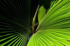 Palm Leaf - Detail Royalty Free Stock Photo