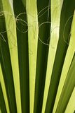 Palm leaf detail with curling fiber Royalty Free Stock Images