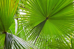Palm leaf detail green rain forest background. Palm leaf detail exotic tropical jungle background rain forest pattern with lines vibrant green colors in Royalty Free Stock Photography