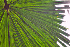Palm leaf detail green tropical background. Palm leaf detail tropical background rain forest pattern with lines vibrant green colors Royalty Free Stock Photo