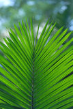 Palm leaf Stock Image