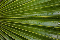 Palm Leaf Detail Royalty Free Stock Image