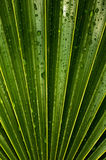 Palm Leaf Detail Royalty Free Stock Photos