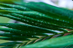 Palm leaf with dew drops. After rain Stock Images