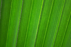 Palm leaf with diagonal lines(horizontal). Background of palm leaf with vertical diagonal, soft focus Stock Photos