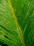 Palm leaf with drops. A close-up of a green palm leaf with water drops Stock Photos