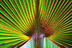 Palm Leaf Fan. Full frame close-up of a palm leaf that resembles the shape of a bamboo fan stock photo