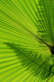 Palm Leaf and fern silhouette. Fern leaf silhouette on tropical palm leaf Royalty Free Stock Photography