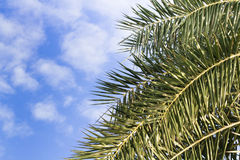 Palm leaf on the fresh blue sky Stock Photo
