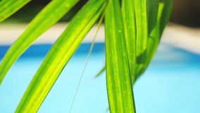 Palm leaf in front of the swimming pool on a tropical resort in slow motion. 1920x1080. Hd stock video