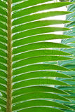 Palm leaf. Royalty Free Stock Photography