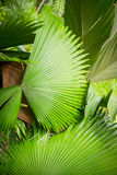 Palm leaf in the garden. Green palm leaf in the garden/ Sunday. Summer royalty free stock photos
