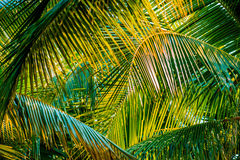 Palm leaf Royalty Free Stock Image