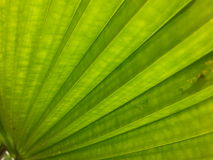 Palm leaf green background Royalty Free Stock Photography
