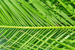 Palm leaf green background Royalty Free Stock Image