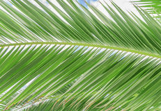 Palm leaf green background Royalty Free Stock Photo