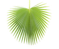 Palm leaf. Royalty Free Stock Photos