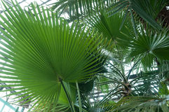 Palm leaf in hothouse Royalty Free Stock Photography
