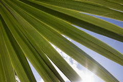 Palm leaf. An image of two nice palm trees in the blue sunny sky Stock Image