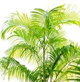 Palm Leaf Isolated On White Stock Image