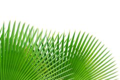 Palm leaf isolated on white background Stock Image