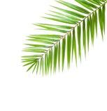 Palm leaf  isolated on white background Royalty Free Stock Photos