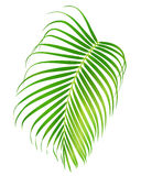 Palm leaf isolated on white background. Vector foliage of tropical tree Stock Photography