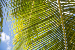 Palm leaf. Palm leaves have beautiful texture Stock Image