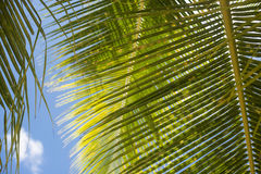 Palm leaf. Palm leaves have beautiful texture Royalty Free Stock Photo