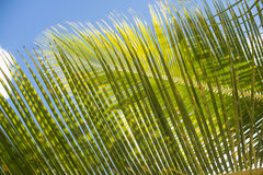 Palm leaf. Palm leaves have beautiful texture Stock Photography