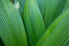 Palm leaf. Palm leaves texture in nature layer Stock Photography