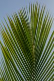 Palm leaf. Palm leaves texture in nature layer Royalty Free Stock Photos