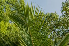 Palm leaf. Palm leaves texture in nature layer Stock Photos