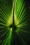 Palm Leaf. Light coming through a palm leaf Stock Photo