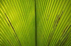 Palm leaf macro Royalty Free Stock Image